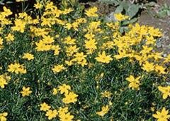 plant thumbnail - Threadleaf Coreopsis