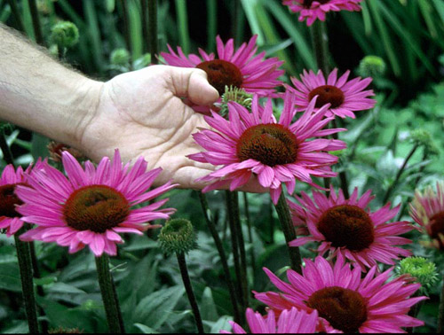 Not known Details About When To Plant Coneflower Seeds