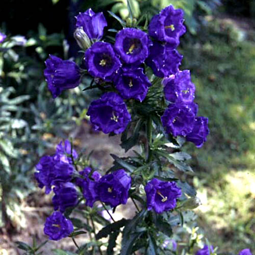 Explore cornell home gardening flower growing guides growing guide plant thumbnail mightylinksfo