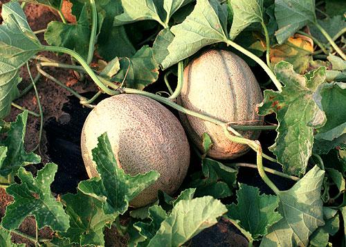 Cantaloupe Meloni