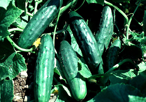 Explore Cornell Home Gardening Vegetable Growing Guides