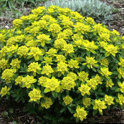 Synonym  Euphorbia epithymoidesYellow Baptisia Australis