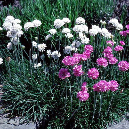 Explore cornell home gardening flower growing guides growing guide sea thrift herbaceous perennial flower mightylinksfo Image collections