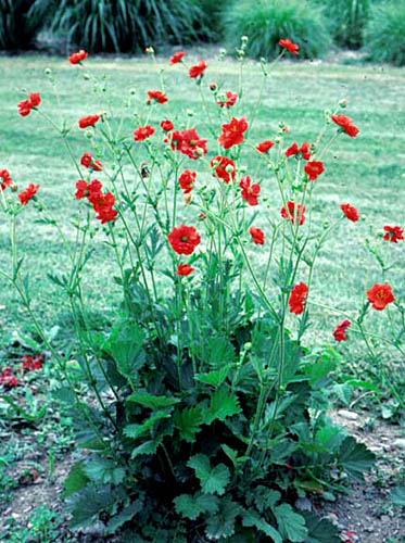Explore cornell home gardening flower growing guides growing guide geum herbaceous perennial flower mightylinksfo